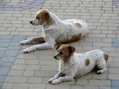 Dog's duet — Stock Photo