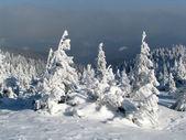 Snowbound sparren. — Stockfoto