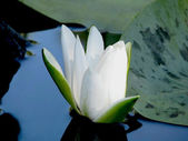 Blossoming Water-lily. — Stock Photo