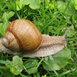 Stock Photo: Crawler snail.