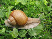 Crawler snail. — Stock Photo