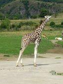 жираф — Стоковое фото