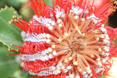 Banksia blossom — Stock Photo