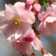 Cherry blossom — Stock Photo #1538994
