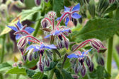 The herbal plant borage flowering in blue — Stock Photo