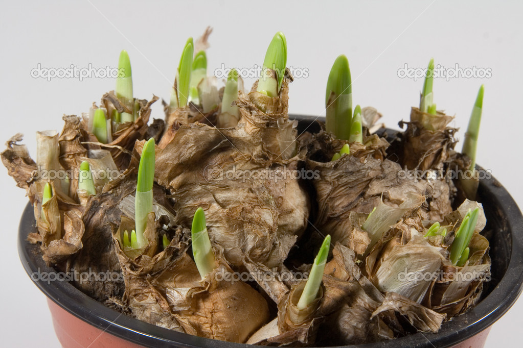 Spring bulbs of crocus in a pot  Stock Photo #1538771