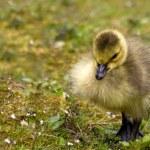 Goose chick — Stock Photo