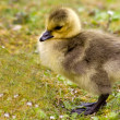Stock Photo: Goose chick