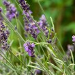 Lavender — Stock Photo #1543986