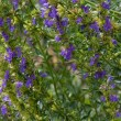Hyssop - Stock Photo