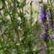 Hyssop — Stock Photo