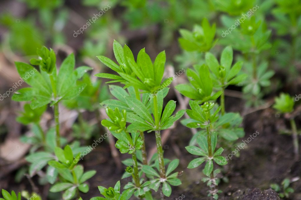 Herb plant Sweet Woodruff in natural environment — Stock Photo #1544779