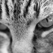 Cat portrait bw - Stock Photo