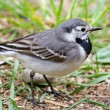 Stock Photo: Wagtail