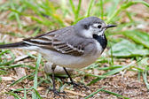 Wagtail — Stock Photo