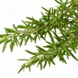 Fresh Rosemary — Stock Photo
