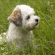 Havanese - Stock Photo