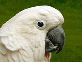 Cockatoo — Stock Photo