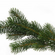 Stockfoto: Fir tree branch