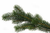 Galho de árvore do abeto — Foto Stock