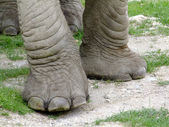 Elephant legs — Stock Photo
