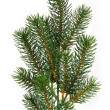 Fir tree branch - Stock Photo