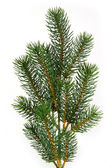 Fir tree branch — Stock Photo