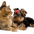 Stock Photo: Puppy and cat in studio