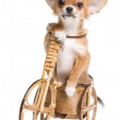 Puppy of the chihuahua on a bicycle — Stock Photo #1541411