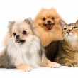 Two spitz-dogs and cat — Stock Photo