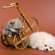 Two puppies of the spitz-dog — Stock Photo