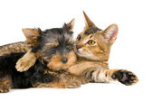 Puppy and cat in studio — Foto de Stock