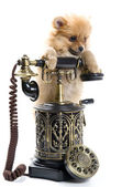 Puppy of a spitz-dog with phone — Stock Photo