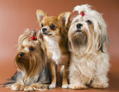 Dogs in studio — Stock Photo