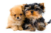 Puppies in studio — Stock Photo