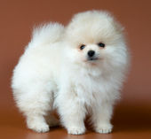 Puppy of a spitz-dog in studio on a neut — Stock Photo