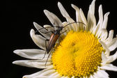 The brown beetle on a field camomile — Stock Photo