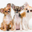 Three dogs of breed chihuahua — Stock Photo