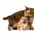 Puppy with a cat in studio — Stock Photo