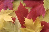 Yellow and Red Leaf Background — Stock Photo