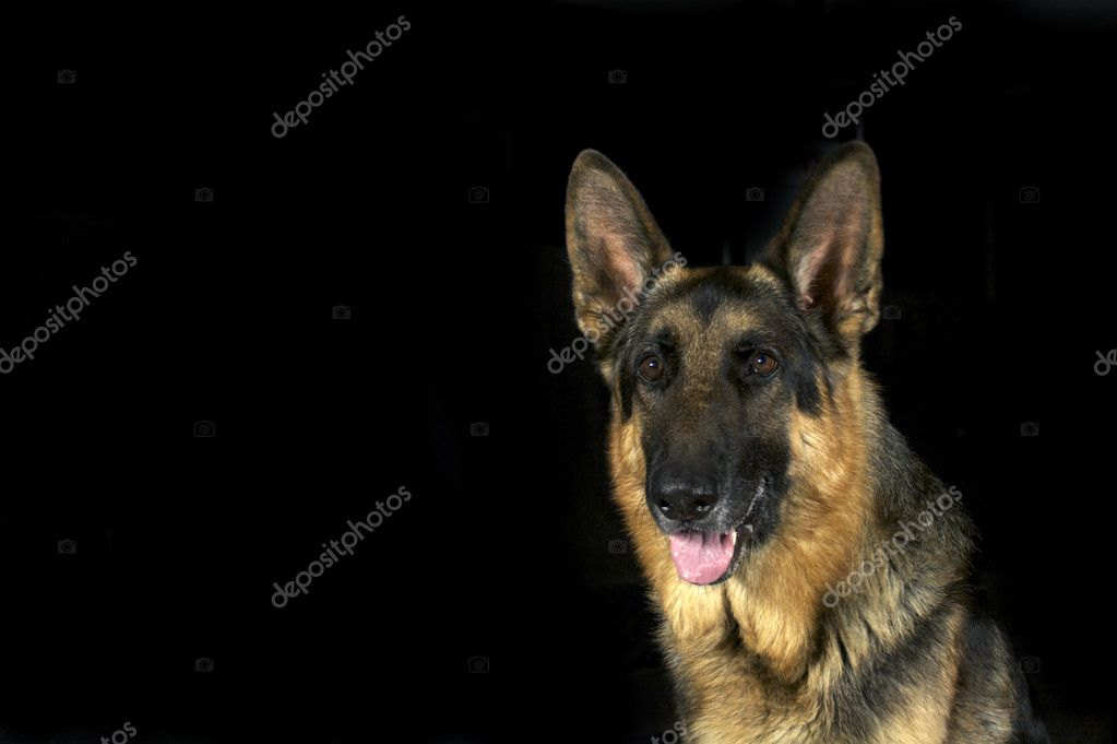 A noble looking German Shepherd isolated on a black background  Stock Photo #1536215