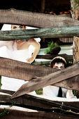 Bride and groom hiding behind wooden fence — Foto de Stock