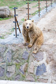 Bear sitting near electric fence — Stock Photo