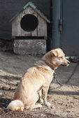 Watchdog on chain — Stock Photo