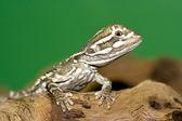 junger Bartagame - (Pogona vitticeps) young bearded dragon ( Pogona vitticeps ) — Stock Photo