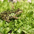 Frosch - - Stock Photo