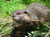 Zwergotter - little Otter in the nature — Stock Photo