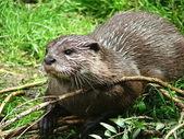 Zwergotter - little Otter in the nature — Stock Photo