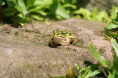 Frosch - — Stock Photo