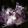 Stock Photo: Rhododendron -